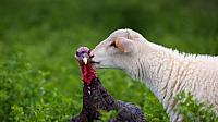 A lamb gives a turkey a kiss on a farm in Lindsborg, Kansas (© Joel Sartore/National Geographic/Aurora Photos)