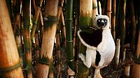 Lemur on a bamboo tree, Madagascar (© Olivier Leger/Getty Images)