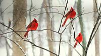 Male northern cardinals in the snow (© Robert Shaw/Alamy)