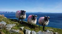 Sheep on Achill Island, County Mayo, Ireland (© Maura Molloy)