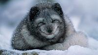 Arctic fox cub in winter (© Belinda Images/Superstock)