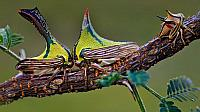 Composite of a juvenile thorn bug on the left, and female and male thorn bug head-to-head on a sweet acacia branch (© Christina L. Evans-Rainbow/Corbis)