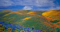 Spring wild flowers in Antelope Valley, California