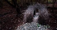The bowerbird's courtship bower in Papua New Guinea