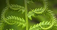 Cinnamon fern, detail of emerging fronds, Lively, Ontario, Canada