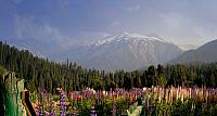 FLowers near the town of Gulmarg in the state of Jammu and Kashmir, India