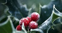 Frosted holly berries and leaves