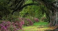 Stately live oaks in Magnolia Plantation and Gardens, Charleston, S.C.