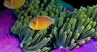 Anemonefish swimming in a pink anemone off the coast of the Republic of Palau