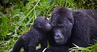 A baby Gorilla snuggles with it's father, the silverback troop leader in Bwindi Impenetrable National Park, Uganda