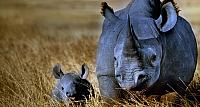 Black rhinoceros mother with calf in Ngorongoro Crater, Ngorongoro Conservation Area, Tanzania