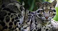 Clouded Leopard lying in tree