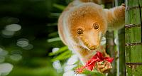 Spotted cuscus on a tree in Tufi, Oro Province, Papua New Guinea