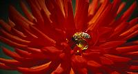 Dahlia blossom with honey bee, British Columbia, Canada