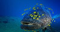 Grouper with school of small fish near Vanuatu the South Pacific Ocean