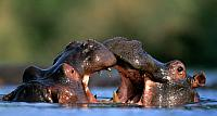 Hippopotamus males fighting in Kruger National Park, South Africa