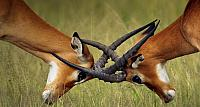 Young impala bucks spar in a test of strength in the grasslands of Serengeti National Park, Tanzania
