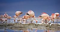 James' flamingos on islet in Laguna Colorada, Bolivia