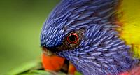 A Rainbow Lorikeet preening its feathers