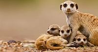 Meerkat with pups in Keetmanshoop, Namibia