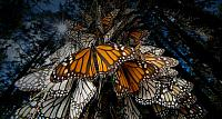 Monarch butterflies roosting at a reserve in Angangueo, Mexico