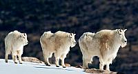 Mountain goats in the snow of the Rocky Mountains, Colorado
