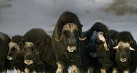 Mature & young Musk-ox bulls and cows in a defensive lineup during winter on the Seward Peninsula near Nome, Alaska