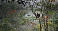 Giant panda cub playing in tree in Ya'an, China