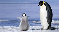 Young emperor penguin (Aptenoytes forsteri) chick and adult, Snow Hill Island, Weddell Sea, Antartica