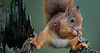 A red squirrel balancing on a tree in Nord-Trondelag Country, Norway