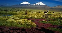 An alpaca standing in the shadow of Pomerape and Parinacota volcanoes in Sajama National Park, Bolivia
