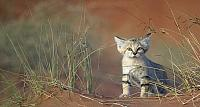 Young sand cat in United Arab Emirates