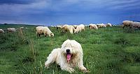 Sheepdog guards a flock of sheep in the Tatra Mountains, Poland