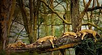 Lions sleeping in the trees