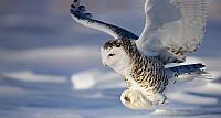 Snowy Owl in flight in Canada