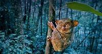 Western Tarsier clinging to tree in Sabah State, Borneo