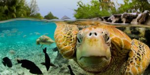 Green sea turtles in Bora Bora, French Polynesia (© Michele Westmorland/Corbis)