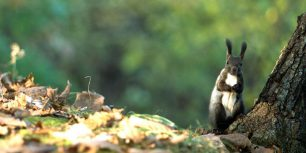 Hokkaido Squirrel (© Datacraft/UIG/age fotostock)