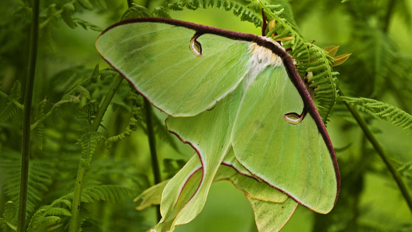 Luna moths among hay-scented ferns, Lively, Ontario, Canada (© Don Johnston/age fotostock)