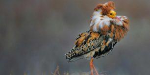 Male ruff in breeding plumage, Norway (© Werner Bollmann/age fotostock)