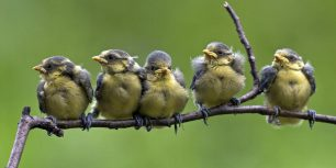Blue tit chicks on a branch (© blickwinkel/Alamy)