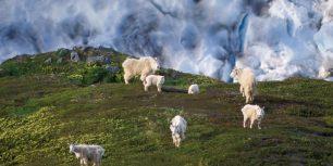 Mountain goat herd on a hillside near Exit Glacier, Kenai Fjords National Park, Alaska (© Steven Kazlowski/Corbis)