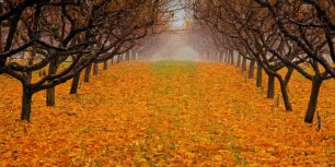 Pear orchard in Okanagan Valley, British Columbia, Canada (© Henry Georgi/Getty Images)