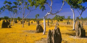 Termite mounds and snappy gums in savannah grassland, Gulf Country, Queensland, Australia (© Bill Bachman/Alamy)