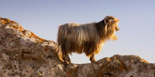 A goat on the castle rocks in Myrina, on the isle of Lemnos, Greece (© Ashley Cooper/Corbis)