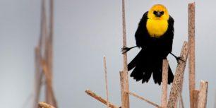 YellowHeadedBlackbird_ROW10722984250_1366x768