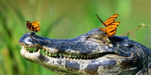 Butterflies resting on a caiman in the Pantanal, Brazil (© Frank Lukasseck/Corbis)