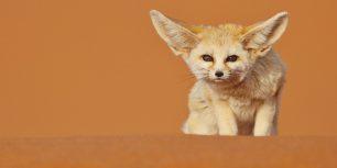 Fennec fox, Merzouga, Morocco (© Juan Carlos Muñoz/age fotostock)