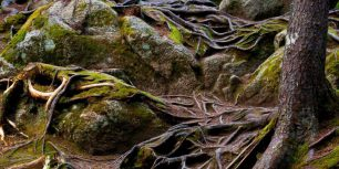 Exposed pine roots cascading down a slope, in Mont-Tremblant National Park, Quebec, Canada (© Rasvan ILIESCU/Alamy)