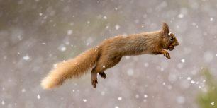 Eurasian red squirrel, Scotland (© Jules Cox/Minden Pictures)